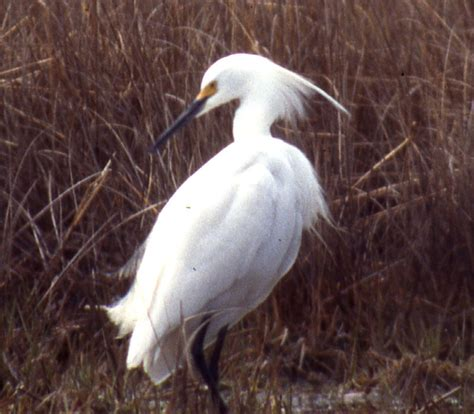 Differences in plumes of Little and Snowy Egret Sibley
