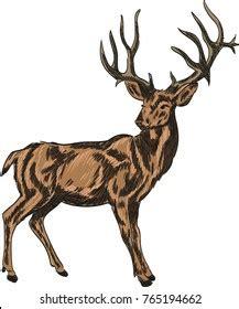 Drawing Deer Shutterstock