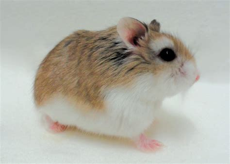 Dwarf Hamster Care Roborovski Russian Chinese Hamsters