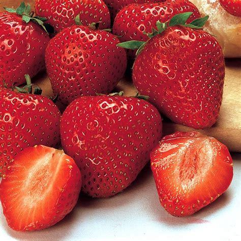 EarliGlo Strawberry Strawberry Plants Stark Bro s