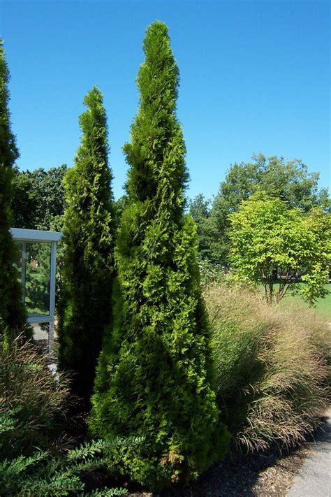 Emerald arborvitae have particular needs Ask the Ground