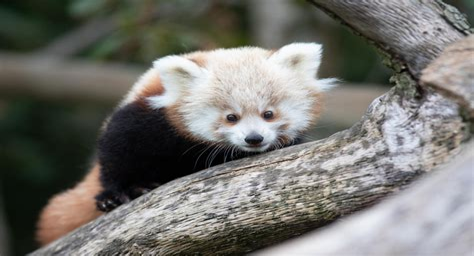 Endangered red panda cubs unveiled at Fota Wildlife Park
