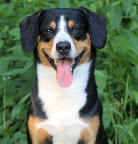 Entlebucher Mountain Dog Breed Information Pictures