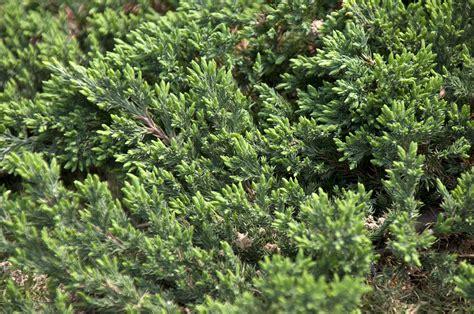 Evergreen Groundcover Plants
