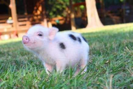 FAQs mini pigs as pets My Mini Pet Pig