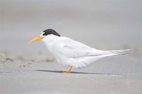 Fairy tern videos photos and facts Sterna nereis Arkive