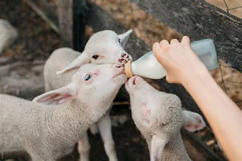 Feeding farm animals UpToTen
