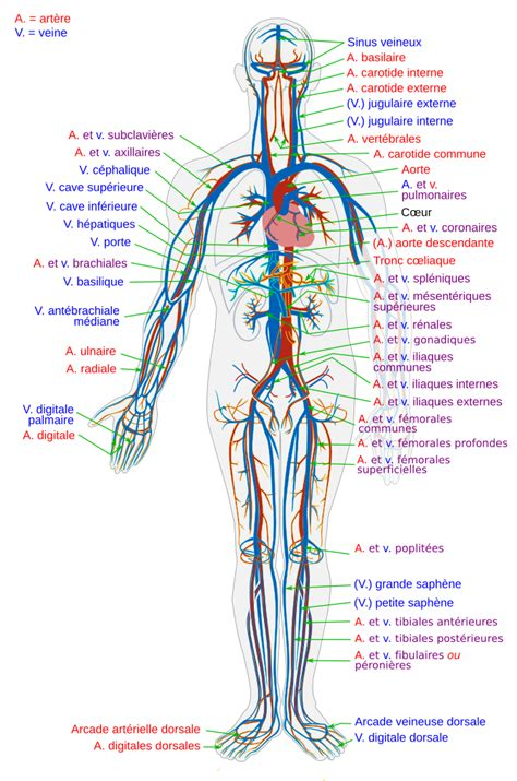 File Circulatory System en svg Wikimedia Commons