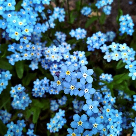 Forget Me Not Flower Pictures Meanings flowerinfo