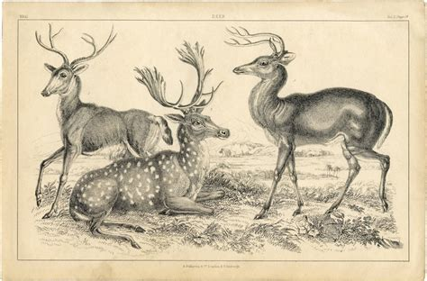 Free Deer Printable Natural History The Graphics Fairy