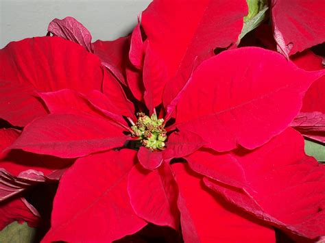 Free poinsettia Images and Stock Photos FreeImages