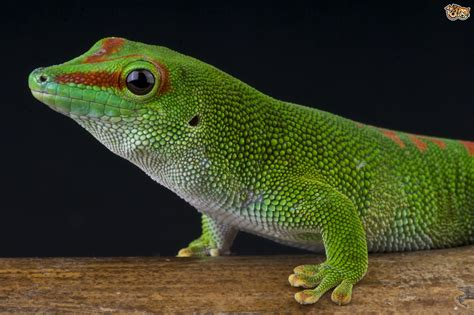 Gecko Online Coloring Page Safe Search Engine