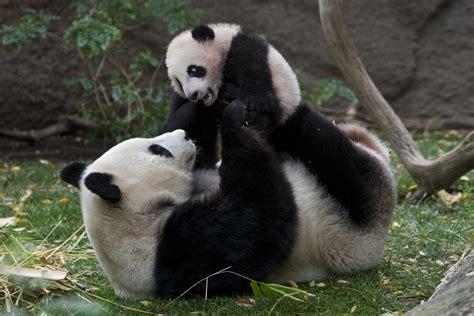 Giant Panda Bear Bear Polar bears Panda Koala Black