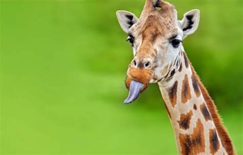 Giraffe Stock Photos Royalty Free Giraffe Images And Pictures