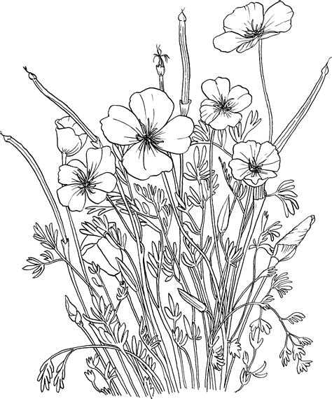 Golden Poppy or California Poppy coloring page Free