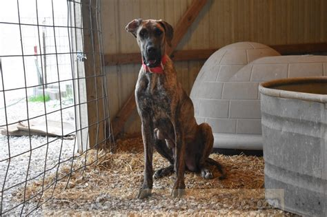 Great Danes Fawn Brindle AKC Color Pure Puppies Stud Service