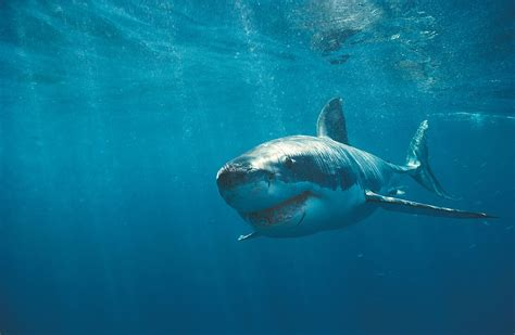 Great White Shark 7 High Definition Widescreen Wallpapers