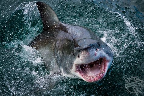Great White Shark Animals National Geographic
