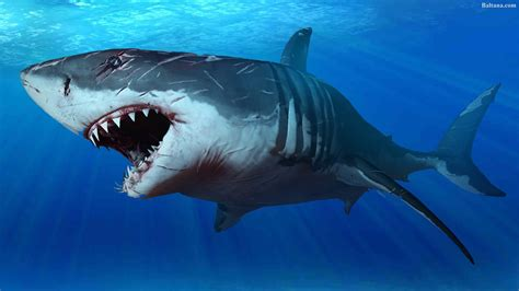 Great White Shark HD Wallpapers Shark Pictures Images