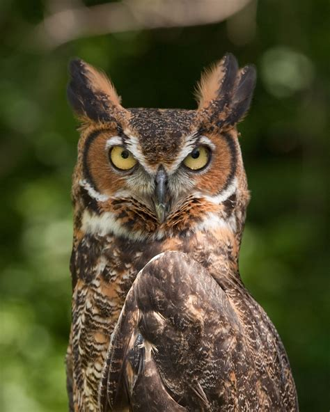 Great horned owl Wikipedia