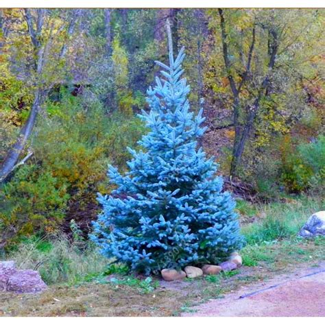 Growing Colorado Blue Spruce Picea pungens in a container