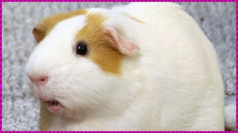 Guinea Pig Noises Loud Squeaking Sounds YouTube