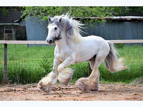 Gypsy Horses Stallions at Stud