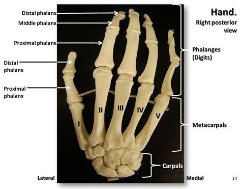 HUMAN BEING ANATOMY SKELETON HAND image Visual