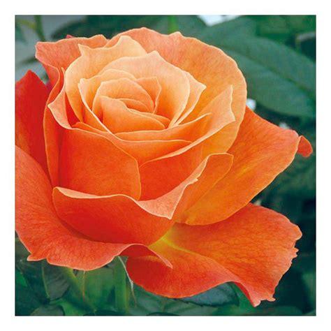 Harkness Roses Flowers Garden Dobies