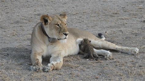 Heartwarming Photos Show a Lion Nursing an Orphaned