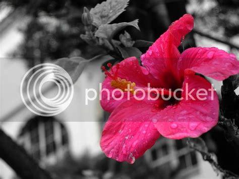 Hibiscus Flowers Pictures Images Photos Photobucket