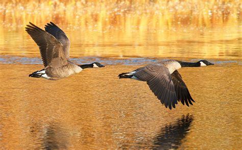 Hinterland Who s Who Canada Goose hww ca