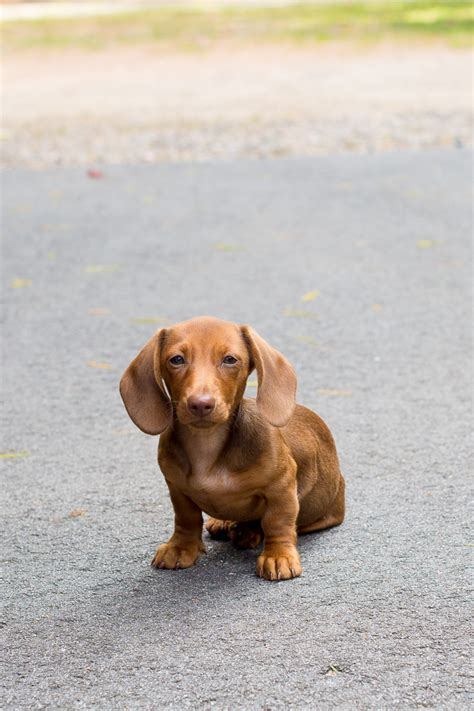 How To Crate Train A Dachshund Kelly in the City