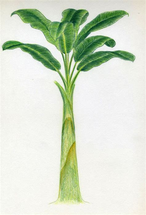 How To Draw Banana Tree Easy Drawings And Sketches