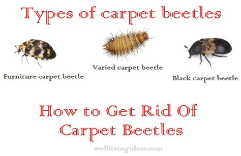 How To Get Rid Of Carpet Beetles Carpet Beetle Treatment