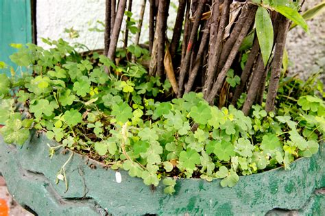 How to Find a Four Leaf Clover 8 Steps with Pictures