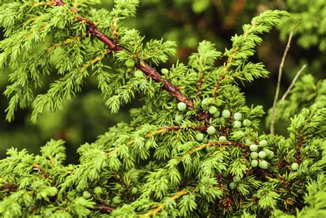 How to Stop Juniper Bushes From Turning Brown Home