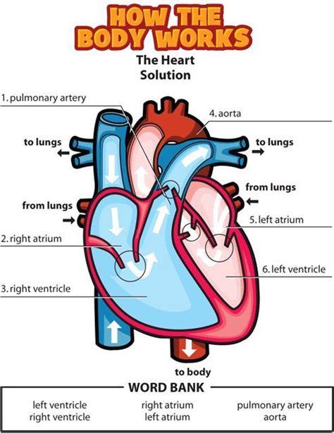Human Body Cardiovascular System Kids YouTube