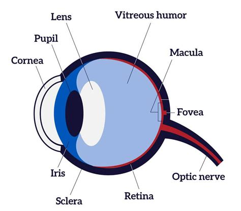 diagram of the human eye images the eye allaboutvisioncom diagram human eye diagram science for kids