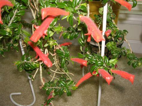 Information on Dancing Dolphin Vine Houzz GardenWeb