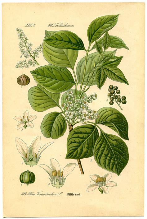 Instant Art Printable Botanical 8 Poison Ivy The
