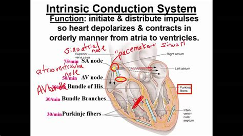 Intrinsic Conduction System of the Heart healthcentral