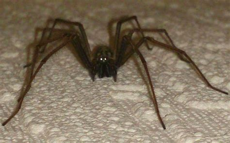 Invasion of giant house spiders after Britain s wet summer
