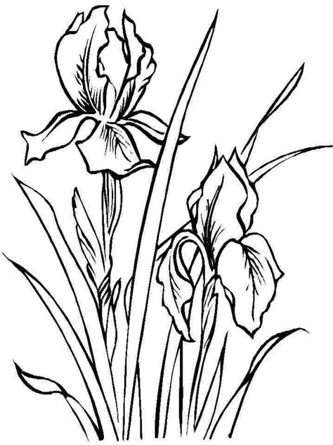 Iris Blossom coloring page Free Printable Coloring Pages