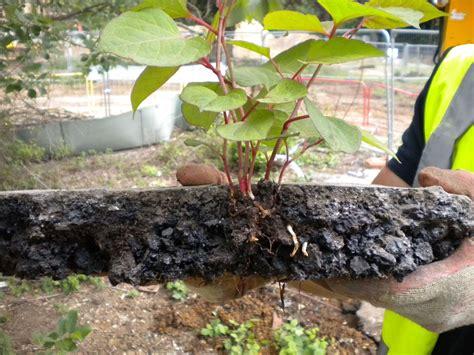 Japanese Knotweed Eradication Removal Invasive weed