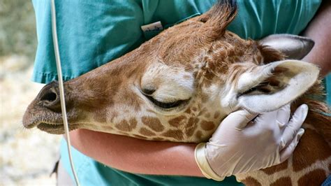 Julius the Giraffe Has Died After One Month on This