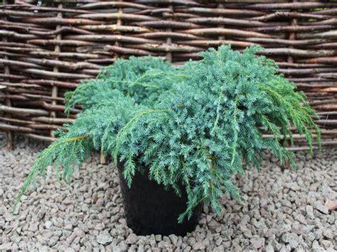 Juniperus squamata Blue Carpet Flaky Juniper Dobbies