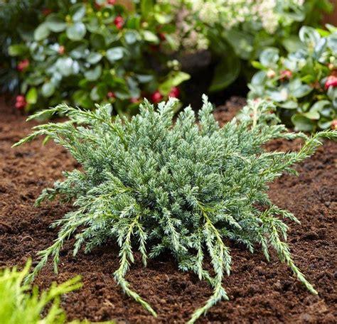 Juniperus squamata Blue Carpet Thompson Morgan