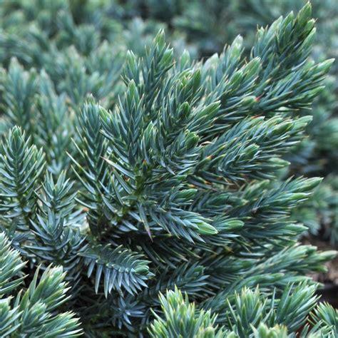 Juniperus squamata Blue Star Fine Gardening