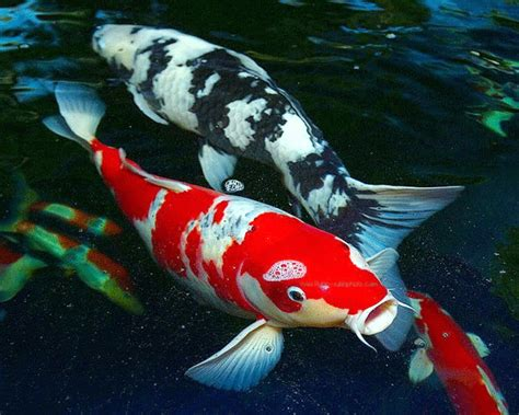 KOI AND GOLDFISH SPAWNING IN YOUR BACKYARD FISH POND